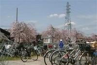 ④300本の枝垂れ桜が満開